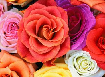 Para cada sentimento e ambiente uma rosa diferente