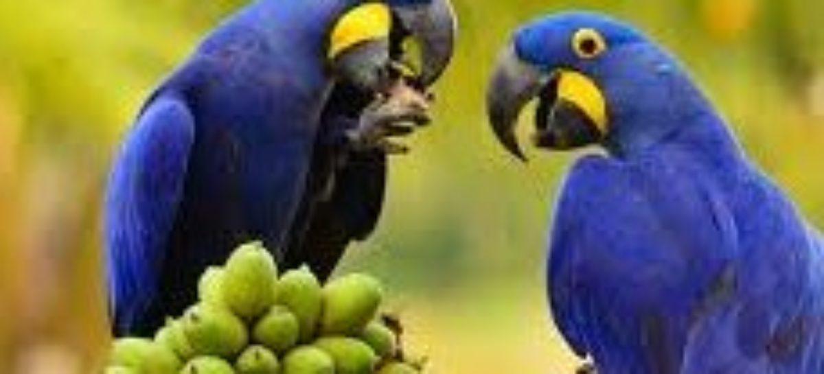 Estudo aborda a preservação da arara azul no sudeste do Pará